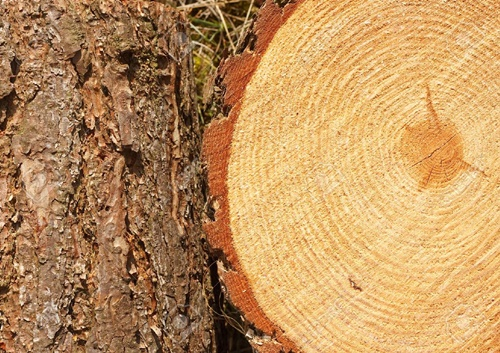 gỗ thông đỏ