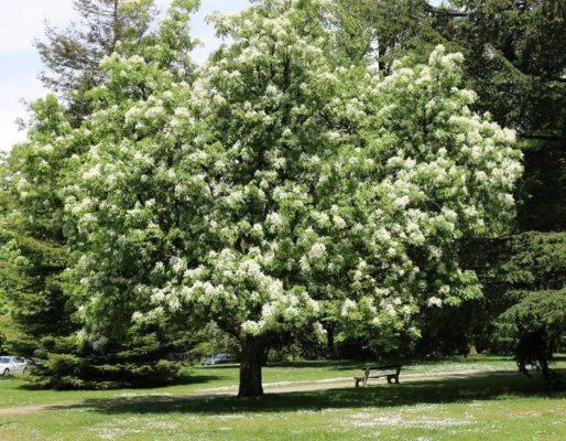cây tần bì là cây gì