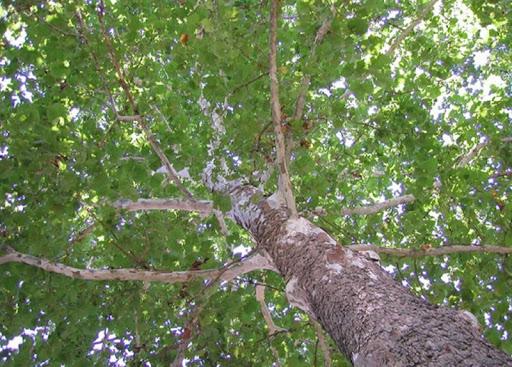 sycamore là cây gì