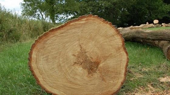 cây tần bì