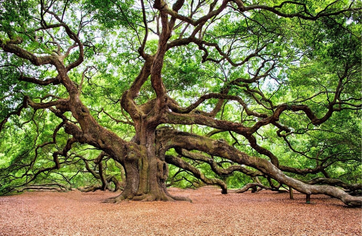 gỗ sồi thuộc nhóm mấy