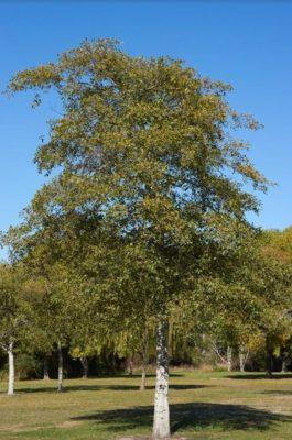 alder wood là gì?