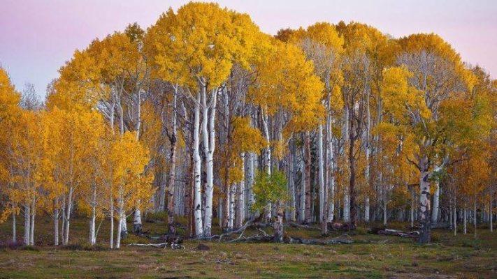 cây gỗ bạch dương