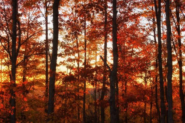 Maple là cây gì
