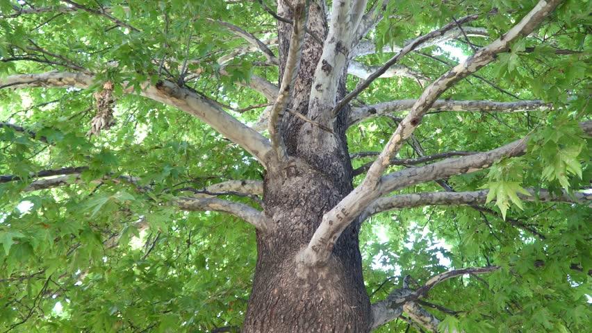 Sycamore tree là gì