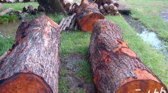 gỗ mahogany có tốt không