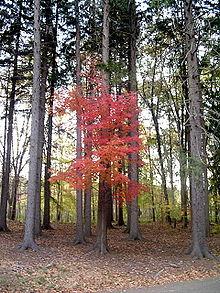 Gỗ maple là gỗ gì