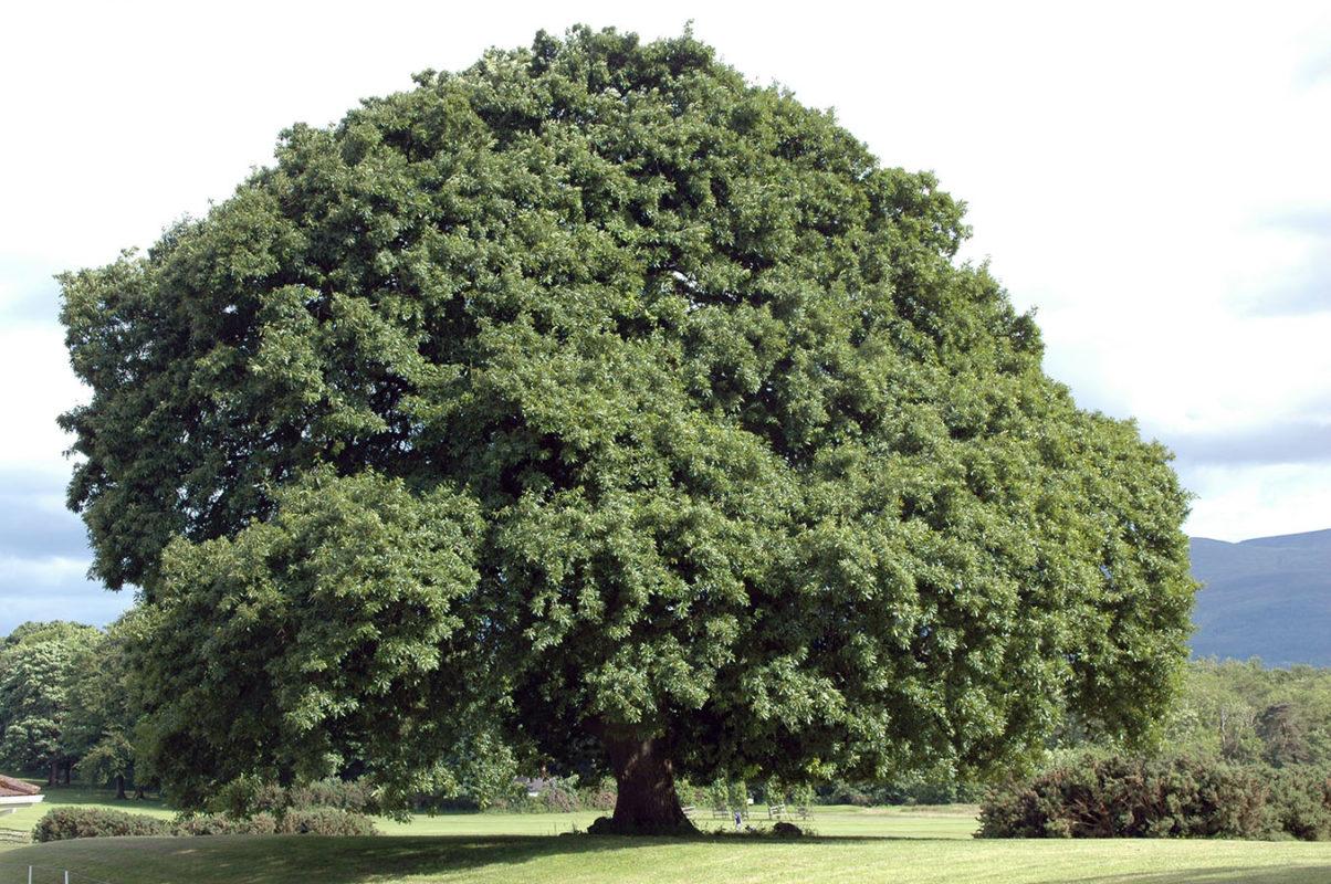 giá gỗ sồi tự nhiên