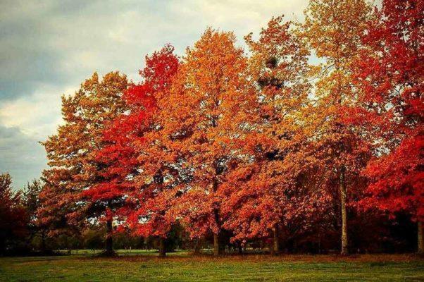 gỗ sồi đỏ Mỹ