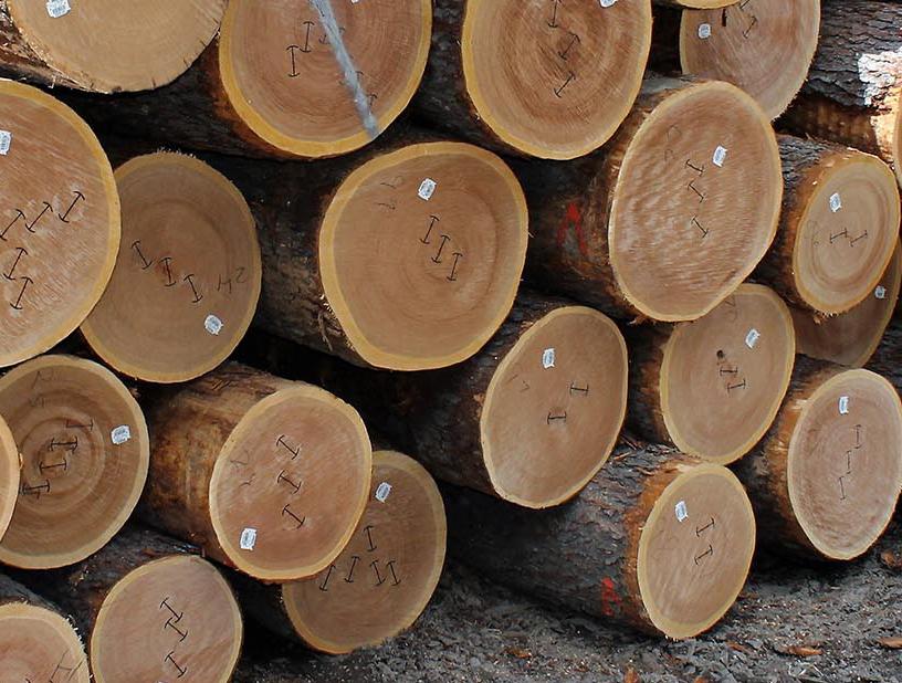 Maple là gỗ gì