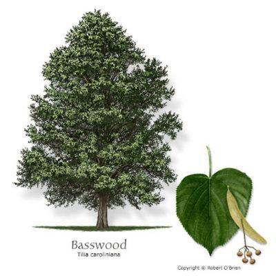 basswood là gỗ gì