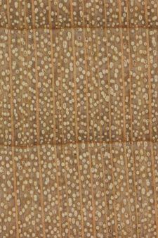 Cấu trúc hạt gỗ Thích cứng Mỹ