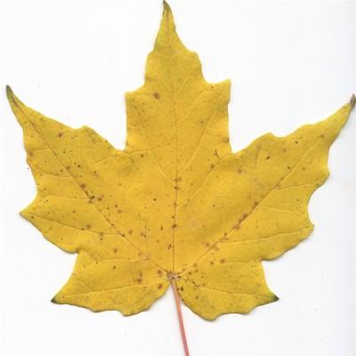 Lá cây thích cứng Mỹ