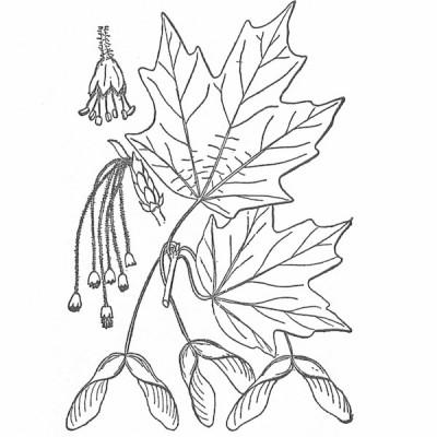 Minh họa tán lá Hard Maple