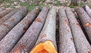 alder là gỗ gì